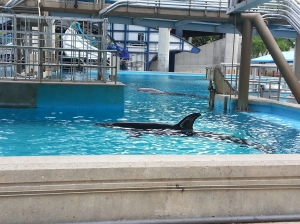 Our tour started at the killer whale pools. They have five Icelandic killer whales at SeaWorld.
