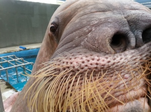 An up-close look at the enormous male walrus.