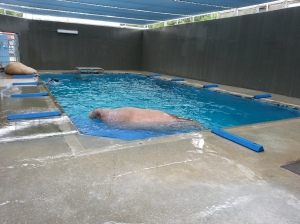 They keep the two walruses in this pool.