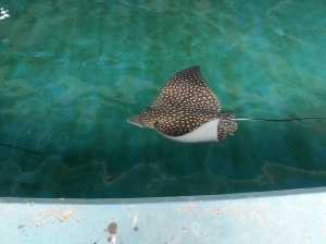 Our last destination was the stingray tank.